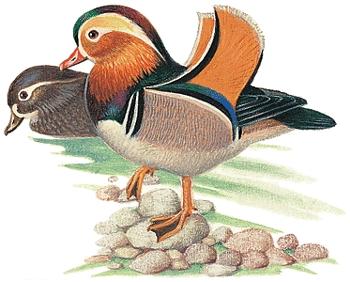 duck_info7.jpg